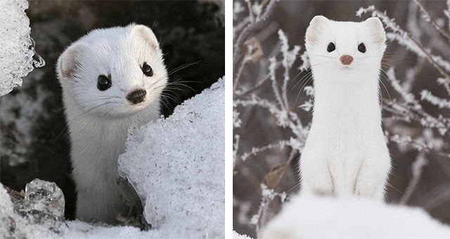 pictures of cute snow stoats in snow thumbnail includes two pictures including a snow stout standing on its back legs on a snowy hill and another snow stoat in a little snowy hole in the ground