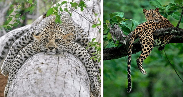 pictures of jaguars and leopards hanging out on trees thumbnail includes two pictures including a leopard on a tree glancing back at the camera and a leopard on a tree all spread out