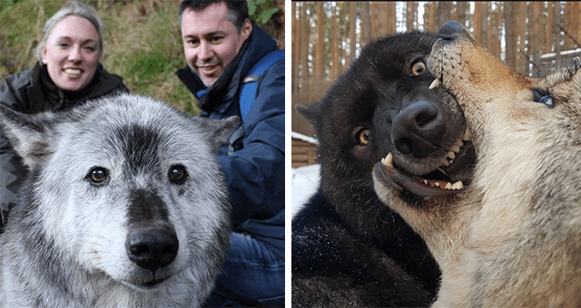 cute and funny pictures of wolves thumbnail includes two pictures including a large grey wolf photobombing a picture with two people in it and another of one wolf holding the snout of another wolf in its mouth