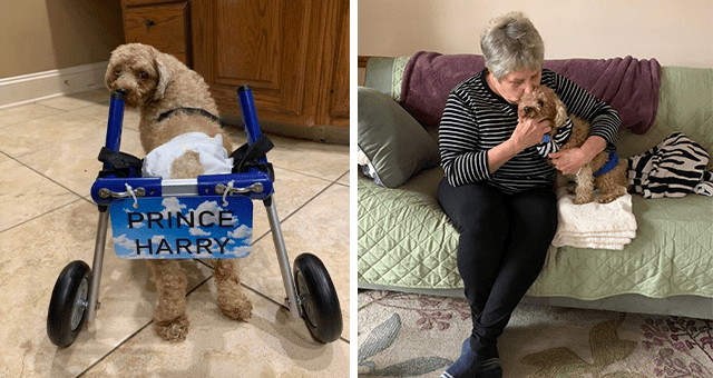 story about a paralyzed rescue dog starting to walk again thumbnail includes two pictures including one of a dog in a wheelchair and another of the same dog being kissed by his adoptive mom