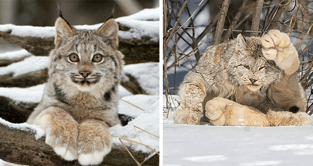 pictures of lynxes with huge paws thumbnail includes two pictures including a lynx stretching and showing its huge paws and another of a lynx innocently smiling at the camera