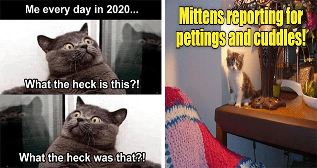 original cat memes by i can has cheezburger users lolcats - thumbnail includes two cat memes one of a grey cat looking in either direction 'Organism - Me every day in 2020... What the heck is this?! What the heck was that?!' and another of a kitten standing on a dresser 'Vertebrate - Mittens reporting for pettings and cuddles!'