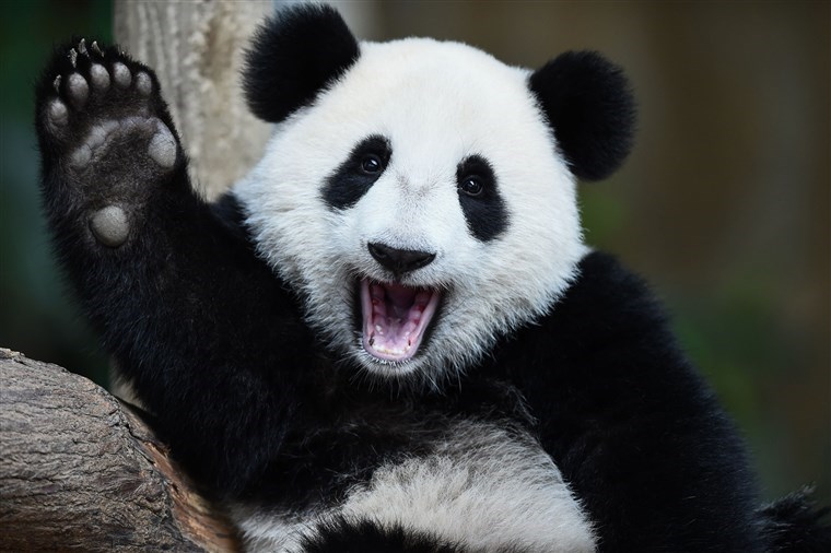 giant pandas cover themselves in horse manure to stay warm