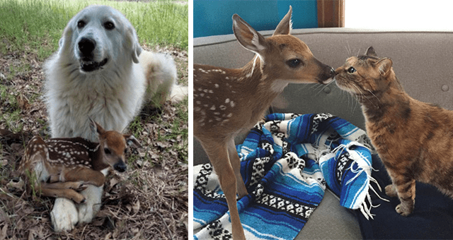 pictures of fawns hanging out with other animals thumbnail includes two pictures including one of a fawn resting curled up on a dog's paws and another of a fawn and cat touching noses