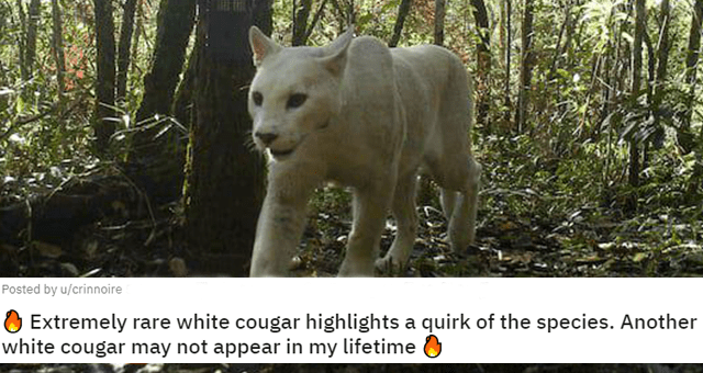 pictures showing why animals are awesome thumbnail includes a picture of a rare white cougar in the forest 'Extremely rare white cougar highlights a quirk of the species. Another white cougar may not appear in my lifetime'