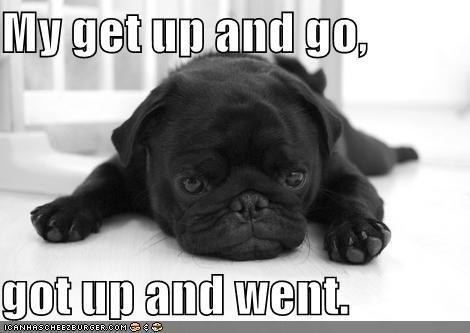 black pug puppy tired - 1317618944