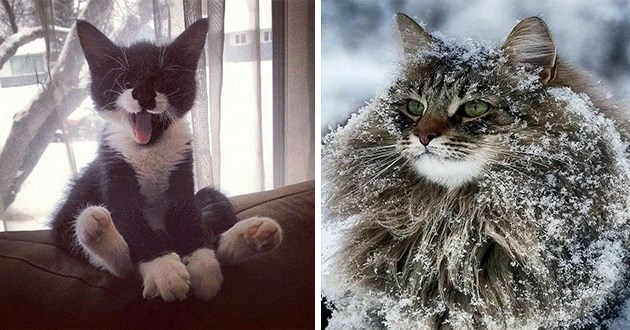 fifty images of cats - thumbnail of cute cat sitting and yawning and another of a fluffy forest Norwegian cat in the snow