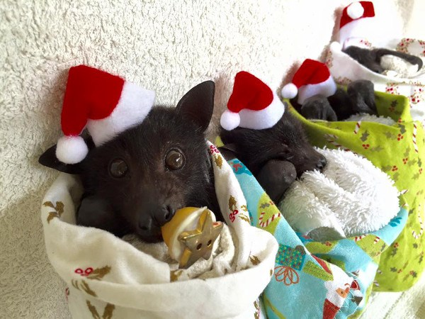 tiny bats in tiny santa hats - thumbnail of tiny bats in tiny santa hats
