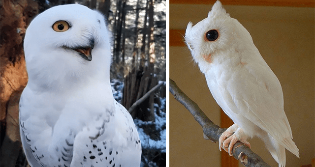 pictures of white owls thumbnail includes two pictures including a baby white owl and another of a white owl smiling.