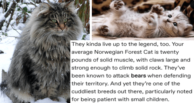 tumblr thread about Vikings gifting kittens to newlywed brides thumbnail includes a picture of a kitten and a picture of a fully-grown Norwegian forest cat 'Text - prokopetz Follow They kinda live up to the legend, too. Your average Norwegian Forest Cat is twenty pounds of solid muscle, with claws large and strong enough to climb solid rock. They've been known to attack bears when defending their territory. And yet they're one of the cuddliest breeds out there, particularly noted for being pati'