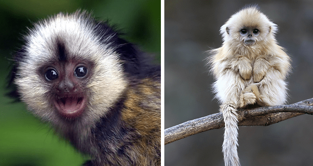 pictures of cute monkeys for monkey day thumbnail includes two pictures including a tiny white-ish monkey on a branch and another of a colorful monkey smiling at the camera
