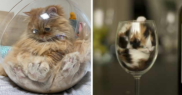 cats within glass - thumbnail of orange cat in round glass and tiny kitten in a glass of wine