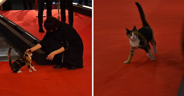 cat crash cairo film festival - thumbnail of cat on the red carpet at the cairo film festival