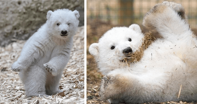 cute pictures of polar bears thumbnail includes two pictures including a polar bear cub falling in its back and another of a polar bear cub dancing