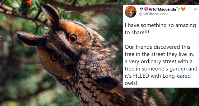 twitter thread about someone finding long-eared owls in their backyard thumbnail includes picture of one long-eared owl and a tweet 'Text - ArtofMaquenda Y @ArtOfMaquenda 000 I have something so amazing to share!!! Our friends discovered this tree in the street they live in, a very ordinary street with a tree in someone's garden and it's FILLED with Long-eared owls!!'