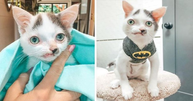 instagram spotlight on the adorable cat pinocchio - thumbnail of includes two images of pinocchio the cat, one of him wrapped in a blanket and one of him in a batman shirt