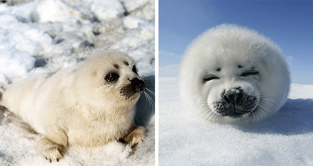 pictures of baby harp seals in snow thumbnail includes two pictures including a picture of a baby harp seal smiling at the camera and another of a tiny pleading harp seal