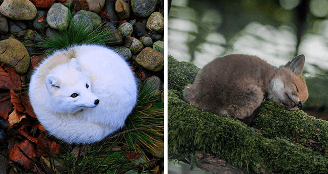 pictures of foxes thumbnail includes two pictures including one of a white arctic fox on a pile of leaves and another of a baby fox cub sleeping on a tree