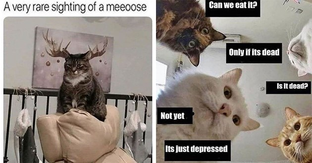 "this week's collection of cat memes thumbnail includes two memes including one of a cat with a moose behind it ""a very rare sighting of a meeoose"" and multiple cats looking down ""can we eat it? only if it's dead"""