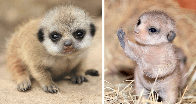pictures of baby meerkats thumbnail includes two pictures of baby meerkats one standing on its back legs and the other crouching