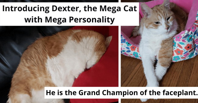 viral imgur story of an older cat getting adopted thumbnail includes two pictures including a cat with its paws crossed and a cat faceplanting 'Introducing Dexter, the Mega Cat with Mega Personality' 'He is the Grand Champion of the faceplant'