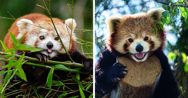 pictures of cute red pandas - thumbnail of two red pandas