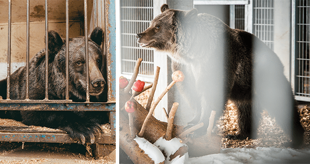 story about a circus bear getting rescued and brought into sanctuary thumbnail includes two pictures including a bear in a cage and a bear with apples