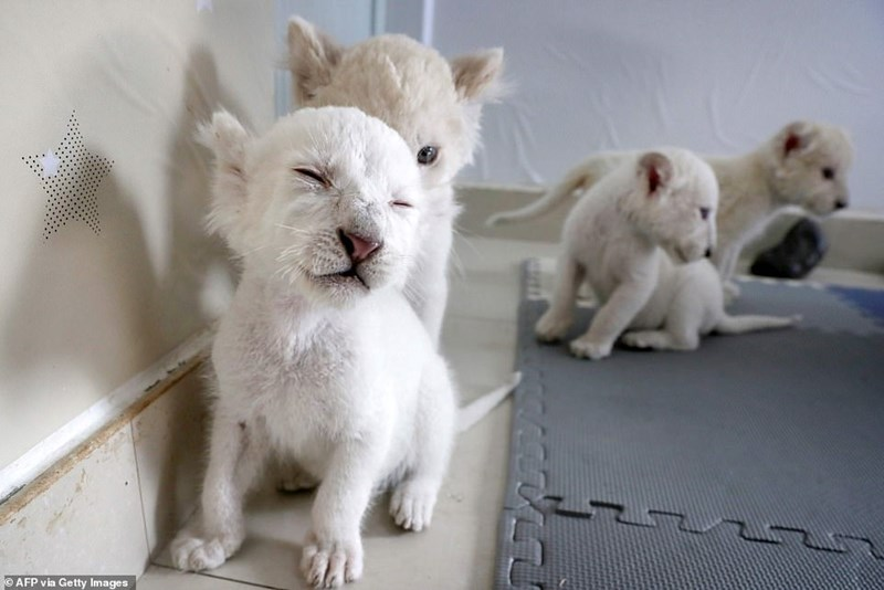 Quadruplets white lion cubs to make their first public debut - thumbnail of four white lion cubs
