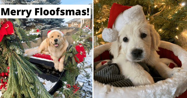 tweets of festive dogs for charity thumbnail includes two pictures including a puppy in a Santa hat and another of a dog outside in the snow surrounded by Christmas decorations 'Merry Floofsmas!''