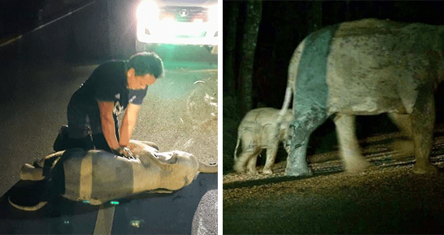 story about a baby elephant that was hit by a motorcycle while crossing the road getting cpr and surviving as well as being returned to its mother thumbnail includes two pictures including a baby elephant lying on the road and receiving cpr and another of the baby elephant back with its mother