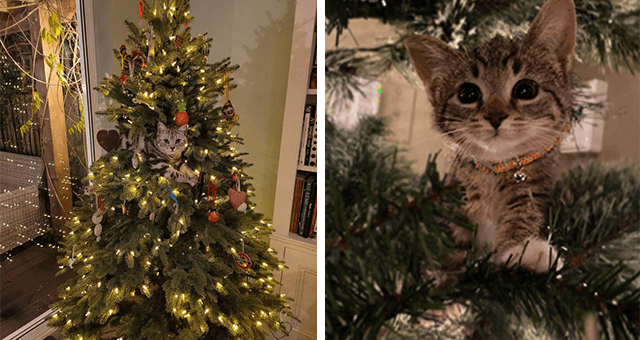 pictures of cats inside of Christmas trees thumbnail includes two pictures including a huge Christmas tree with a cat right in the middle of it and another of a kitten inside of a Christmas tree