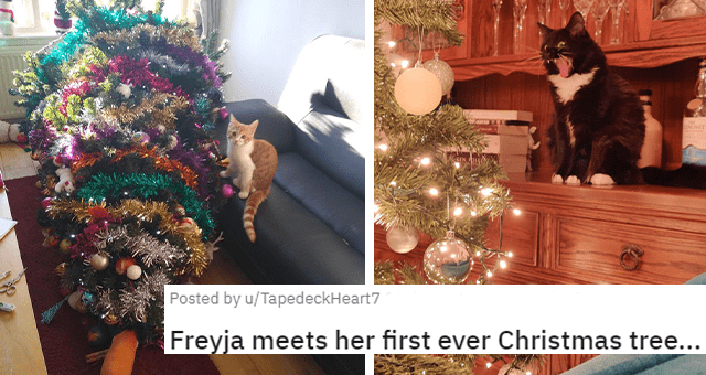 posts of pets experiencing their first Christmas thumbnail includes two pictures including a cat with a toppled over Christmas tree and another of a cat yelling at a Christmas tree 'Freyja meets her first ever Christmas tree'