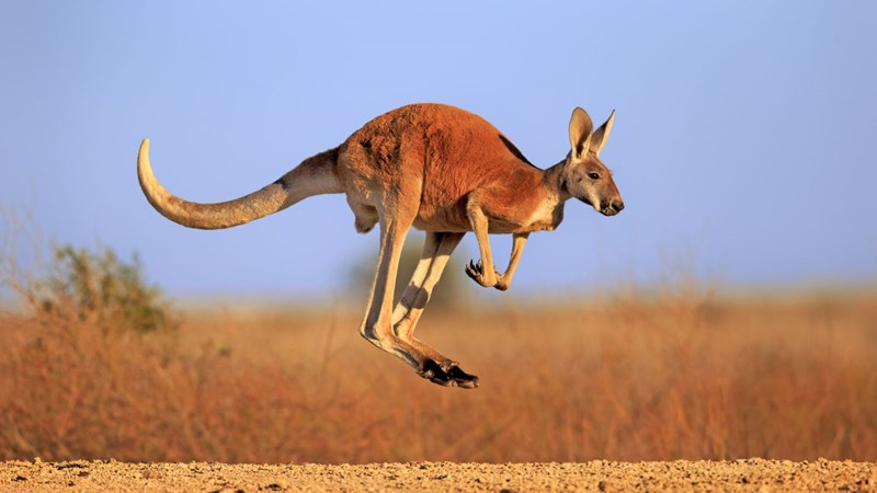 kangaroos are more intelligent than previously thought