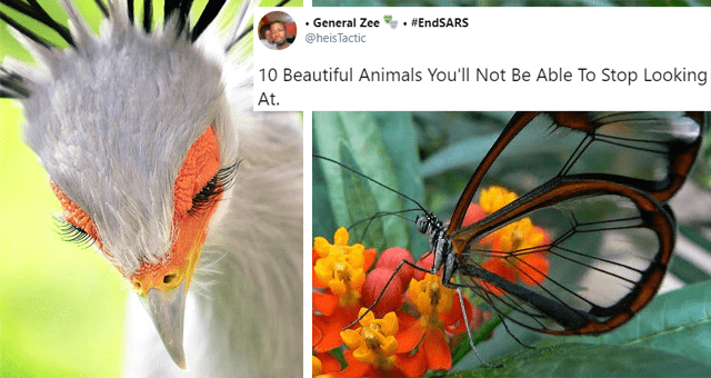 twitter thread of 10 beautiful animals thumbnail includes two pictures including a picture of a secretary bird and another of a glass-wing butterfly 'General Zee @heisTactic #EndSARS 000 10 Beautiful Animals You'll Not Be Able To Stop Looking At'