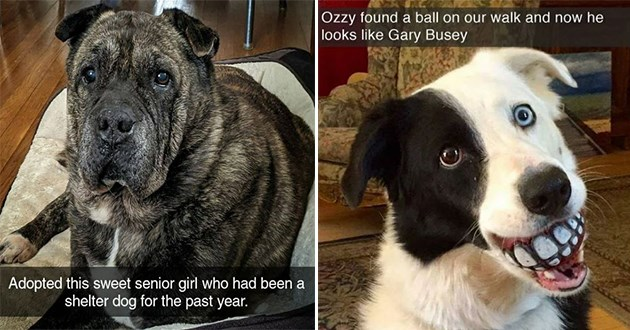 uplifting pure and wholesome dog snapchats - thumbnail includes two images | Adopted this sweet senior girl who had been shelter dog past year. | Ozzy found ball on our walk and now he looks like Gary Busey