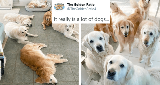 twitter account of a group of golden retriever dogs thumbnail includes two pictures of a huge group of golden retrievers 'Dog - The Golden Ratio @TheGoldenRatio4 It really is a lot of dogs... 5:47 PM - Dec 12, 2020 - Twitter for iPhone 324 Retweets 49 Quote Tweets 10.5K Likes'