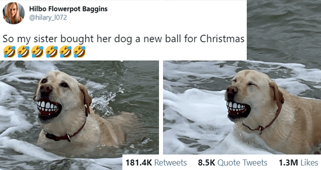 this week's collection of animal tweets thumbnail includes two pictures of a dog holding a ball with teeth on it in its mouth 'Vertebrate - Hilbo Flowerpot Baggins @hilary_1072 So my sister bought her dog a new ball for Christmas 1:41 PM Dec 25, 2020 · Twitter for iPhone 181.1K Retweets 8.5K Quote Tweets 1.3M Likes'