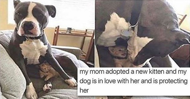 "weeks best and cutest wholesome animal memes - thumbnail of dog protecting a kitten ""my mom adopted a new kitten and my dog is in love with her and is protecting her"""
