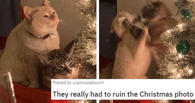 reddit posts about animals being jerks thumbnail includes two pictures including two cats peacefully looking at a Christmas tree and the same two cats suddenly fighting 'They really had to ruin the Christmas photo u/ashostakovich'