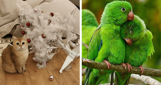 this week's collection of pictures that are worth more than 1000 words thumbnail includes two pictures including two parrots nuzzling each other and another of a cat next to a fallen white Christmas tree