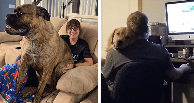 pictures of huge dogs sitting in people's laps thumbnail includes two pictures including one of a huge dog sitting in a woman's lap and another of a dog sitting on a guy who's sitting in a chair