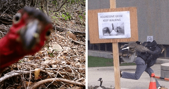 funny pictures of animals in the wild thumbnail includes two pictures including one of a bird photobombing a picture and another of a goose chasing a human in front of a sign that says 'AGRESSIVE GEESE KEEP WALKING'