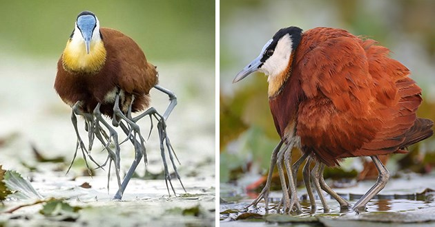 jacana birds and their many legs - thumbnail of jacana bird with lots of legs
