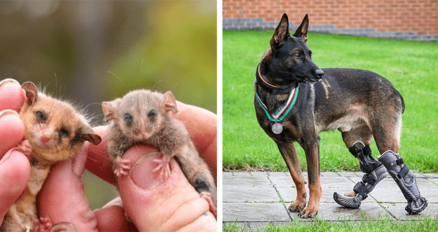 collection of the most positive animal news stories of December 2020 thumbnail includes two pictures including one of a dog with prosthetic hind legs wearing a medal and another of two tiny possums sitting on someone's fingers