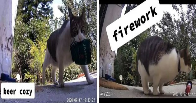 cat who loves to steal anything and everything - thumbnail of china the cat bringing back a stolen beer cozy and stolen firework