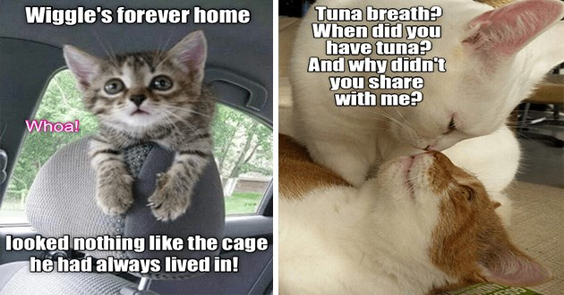 """ichc original cat memes lolcats - thumbnail includes two cat memes - one of a kitten in a car """"Wiggle's forever home Whoa! looked nothing like the cage he had always lived in!"""" and a cat face to face with another cat """"Tuna breath did have tuna? And why didn't share with me"""""""