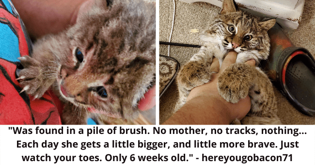 Was found in a pile of brush. No mother, no tracks, nothing... Each day she gets a little and little more brave. Just watch your toes. Only 6 weeks old. - hereyougobacon71