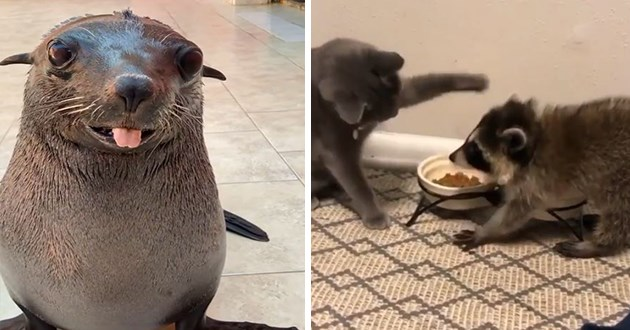 wholesome adorable and funny animal gifs - thumbnail of a smiling seal with its tongue sticking out and a cat and raccoon eating side by side
