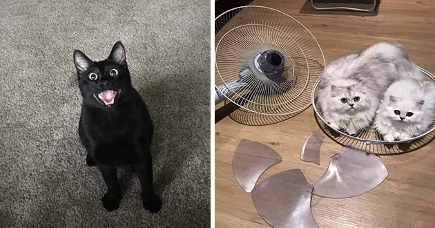 images of cats without any context - thumbnail of smiling black cat and an image of pair of white cats sitting in a broken fan piece
