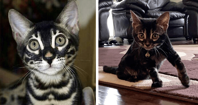 pictures of charcoal Bengal cats appreciation thumbnail includes two pictures including one of a charcoal Bengal cat and another of a charcoal Bengal kitten